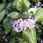 Mona Lavender – Plectranthus Hybrid