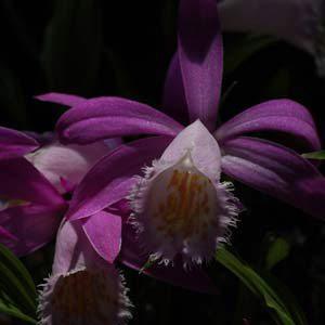 Pleione orchid