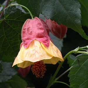 Long Flowering Abutilon milleri