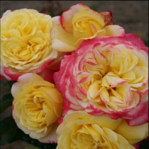 Jubilee  - New release rose