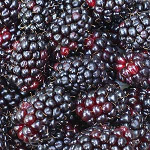 Silvanberries