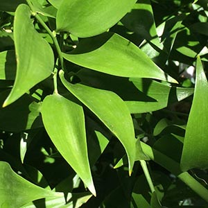 Danae racemosa - Alexandrian laurel