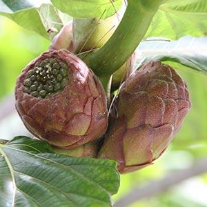 Ficus dammaropsis Seed Pods
