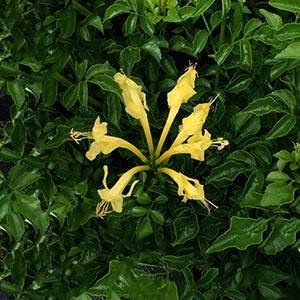 Tecomaria capensis 'Aurea' - The 'Cape Honeysuckle'