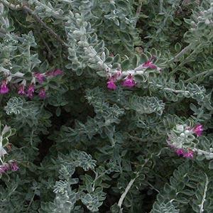 Tecurium marum - Foliage and flowers