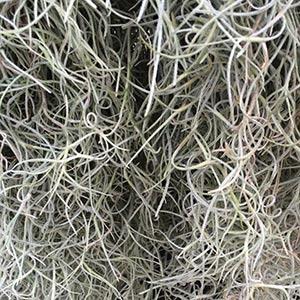 Tillandsia usneoides - Spanish Moss