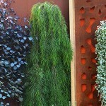Acacia cognata Waterfall