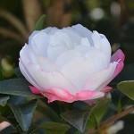 Camellia 'Paradise Blush'