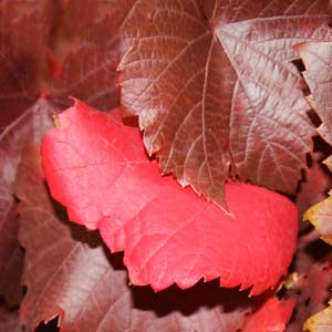 Ornamental Grape Vine
