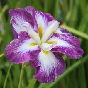 Iris ensata - The Japanese Iris