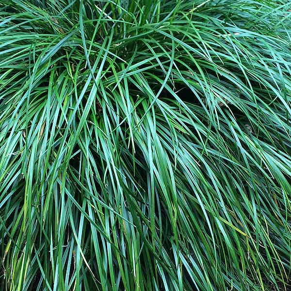 Ornamental grasses for shade nurseries online for Ornamental grasses that grow in shade