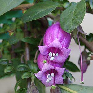 Latua pubiflora