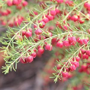 Boronia megastigma 'Jack Maguire's Red'
