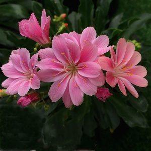 Lewisia - Pink Flowering Variety
