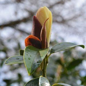 Magnolia nitida - New Flower Buds