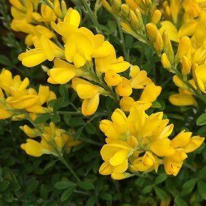 Cytisus racemosus nana