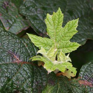 Hydrangea quercifolia Snow Queen - New Foliage