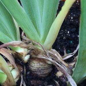 Orris Root Plant