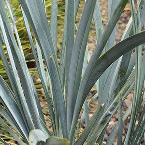 Lomandra glauca 'Blue Ridge'