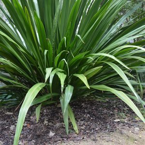 Doryanthes palmeri - The Spear Lily