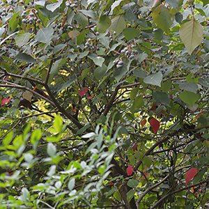 Bleeding Heart tree - Homalanthus populifolius