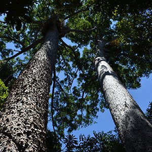 Agathis microstachya - Bull Kauri Pines
