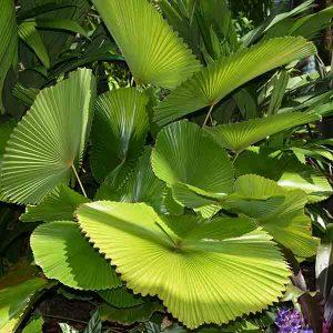 Licuala cordata - Tropical Foliage