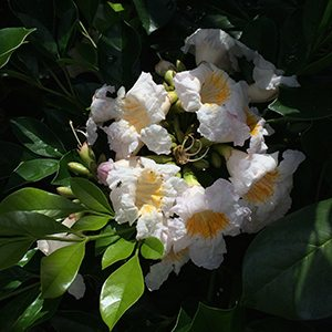 Radermachera 'Summerscent' Flowers