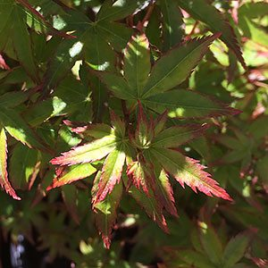 Acer palmatum 'Murasaki kiyohime'