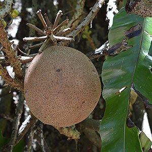 The Cannonball tree - Couroupita guianensis