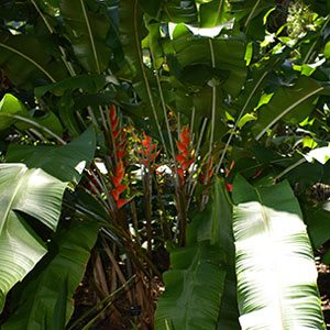 Heliconia wagneriana - Flower and Foliage