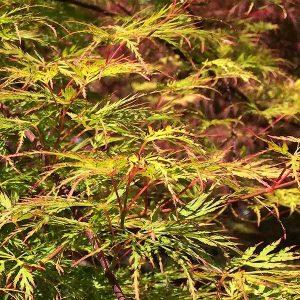 Acer palmatum 'Emerald Lace'