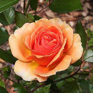 Ashram Rose