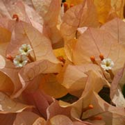 Bougainvillea-Apricot-