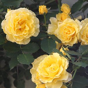 Cluster of Gold Bunny Rose Flowers