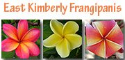 East Kimberly Frangipanis
