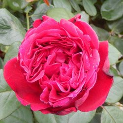 Rosa 'Father's Love'