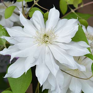 Clematis Arctic Queen - A large flowered Clematis