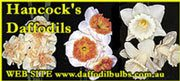 Hancock's Daffodils