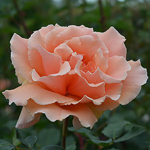 Just Joey - A Hybrid Tea Rose