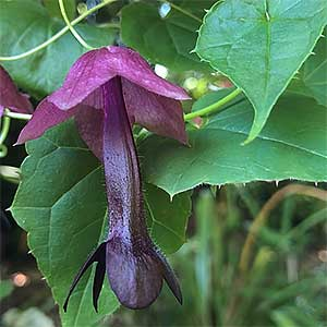 Rhodochiton atrosanguineus - Purple Bells