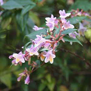Abelia Schumannii Nurseries Online Australia