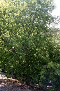 Acer Buegerianum