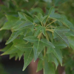 Acer Buegerianum foliage