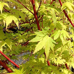 Coral Bark Maple - Acer palmatum 'Sango Kaku'