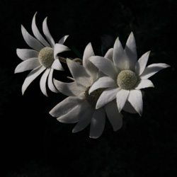Actinotus helianthi or 'Flannel Flower'