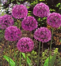 Allium Bulb in Flower