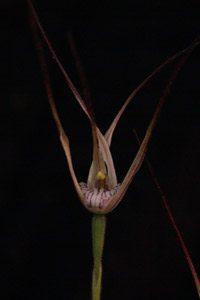 Caladenia (syn. Arachnorchis) polychroma
