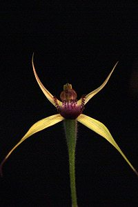 Caladenia (syn. Arachnorchis) reticulata