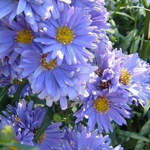Aster novi belgii Blue Gown